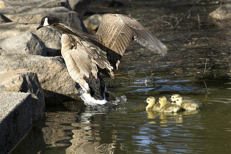 Moedergans en gansjes stock fotografie