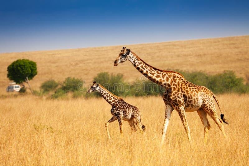 Moedergiraf die met weinig kalf in savanne lopen stock afbeeldingen