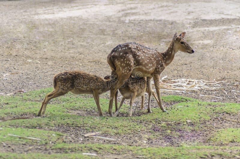 Moederherten het voeden babydeers royalty-vrije stock fotografie