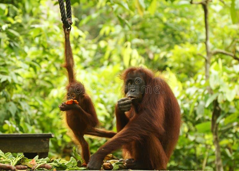 Moederorangoetan en baby bij het voeden van platform Sepilok, Borneo royalty-vrije stock afbeeldingen