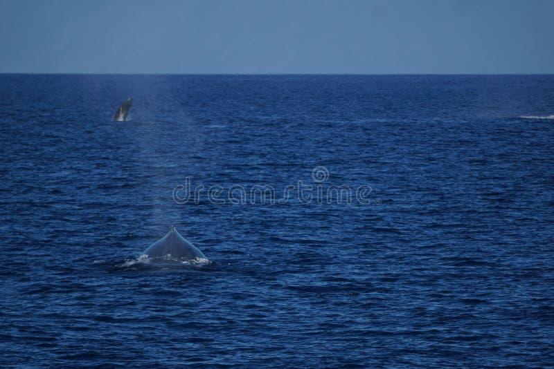 Moederwalvis die na haar kalf achtervolgen royalty-vrije stock afbeelding