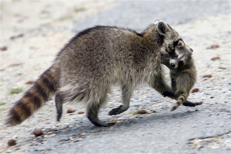 Moederwasbeer die met baby ontsnappen stock foto