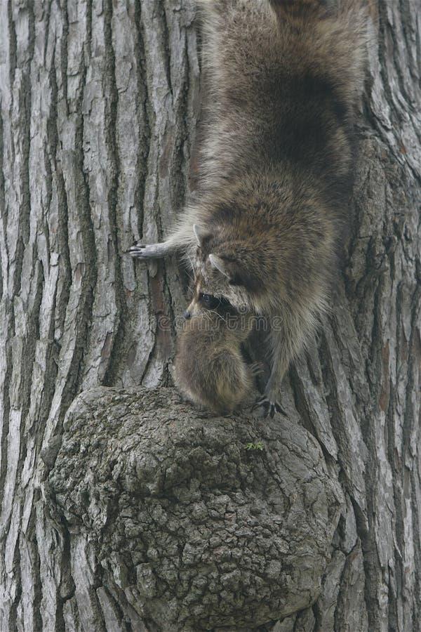 Moederwasbeer met baby, op het vooruitzicht van boom royalty-vrije stock foto's
