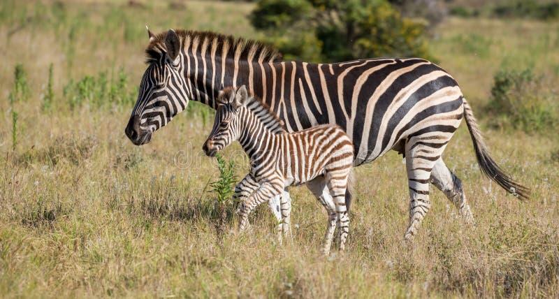 Moederzebra en Haar Veulen stock foto