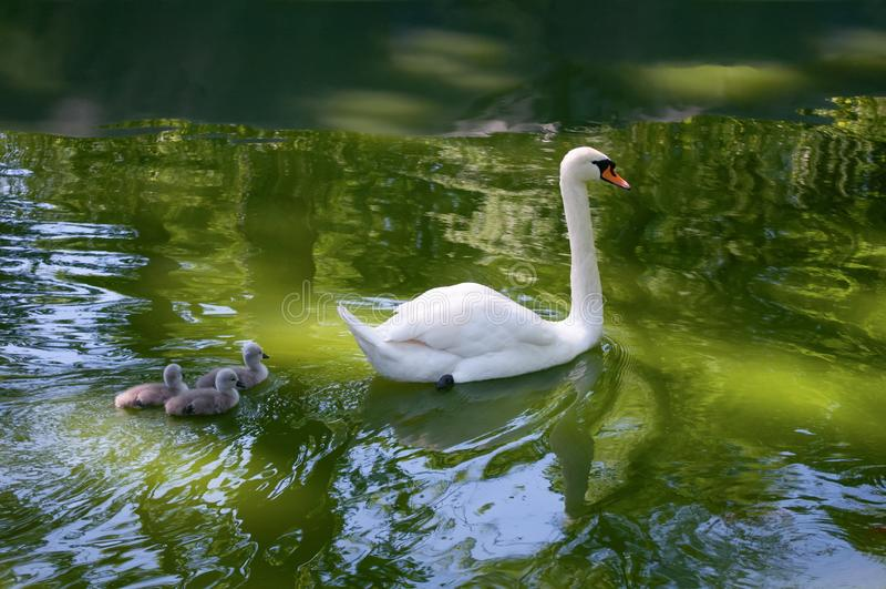 Moederzwaan en Babys royalty-vrije stock fotografie