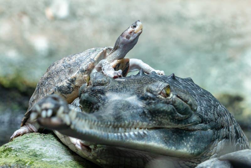 Moedige bruin roofed schildpadzitting op de Indische gharial krokodil stock afbeeldingen