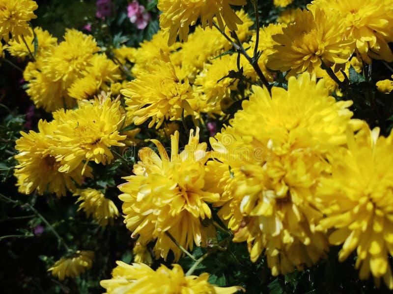 Moeras gele bloemen in Sri Lanka royalty-vrije stock afbeeldingen