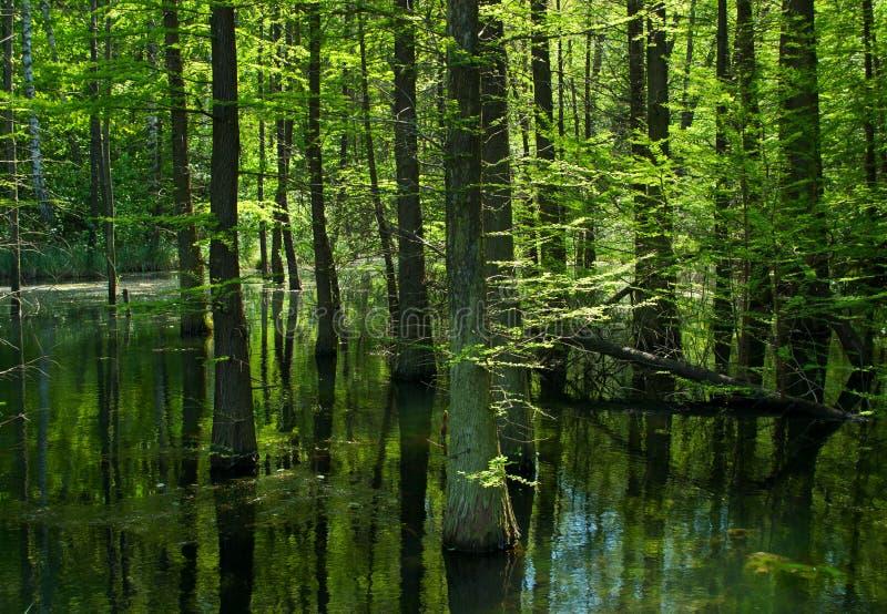 Moeras in het bos stock afbeelding
