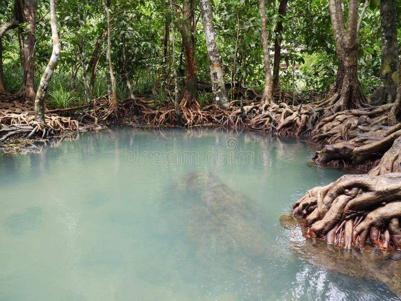 moeras in het mangrovebos stock foto's