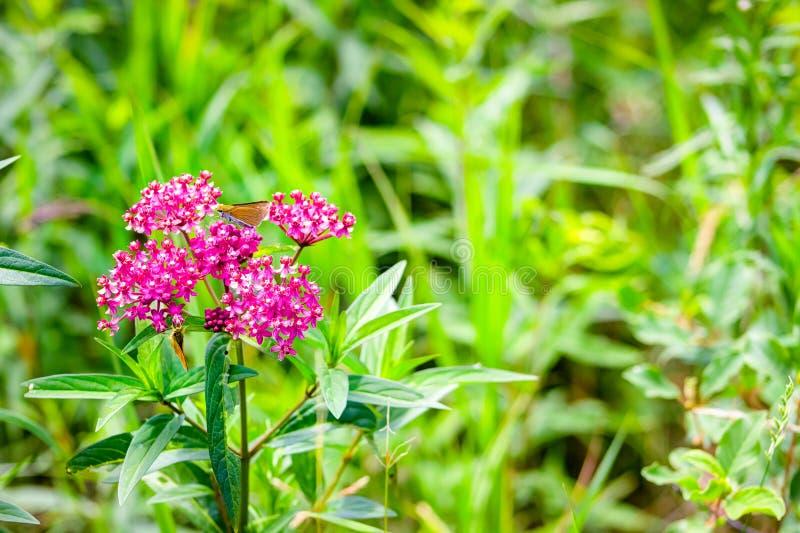 Moeras Milkweed stock foto