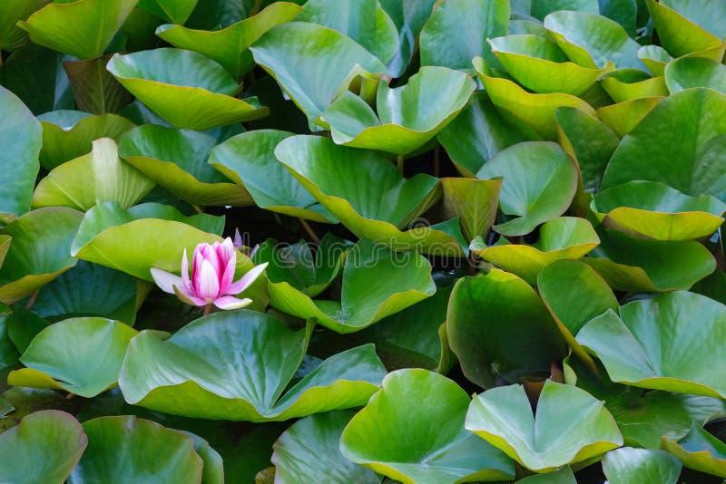 Moeras nymphal lelie en groene bladeren stock fotografie