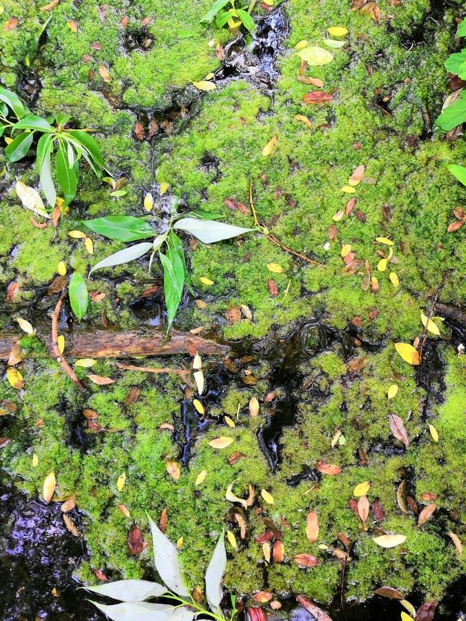 Moerasalgen Groene algenpatronen op het water Groen moeras Het verontreinigde water werd behandeld met film en algen royalty-vrije stock afbeeldingen