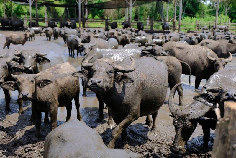 Moerasbuffels royalty-vrije stock afbeelding