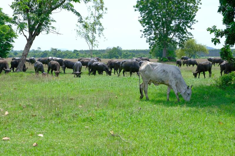 Moerasbuffels stock foto's