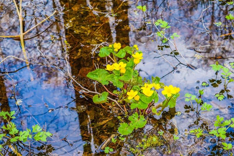 Moerasgoudsbloemen in water stock foto's