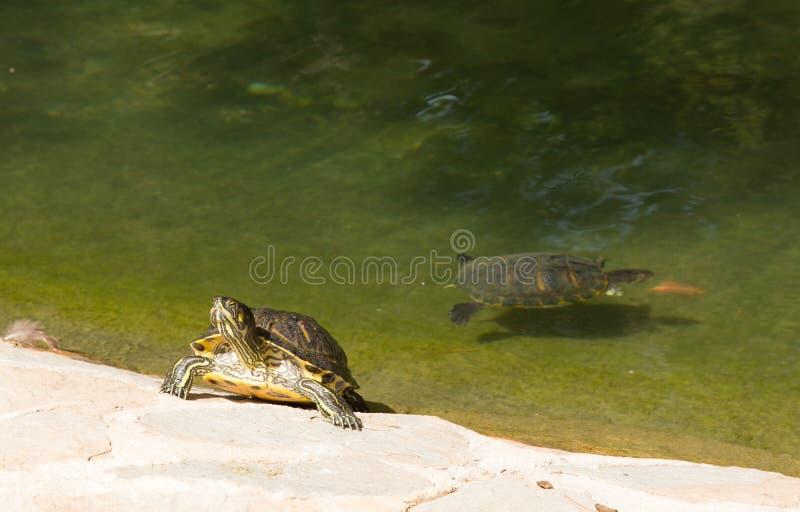 Moerasschildpad en vijver Reina Sofia Park Guardamar del Segura Spain stock fotografie