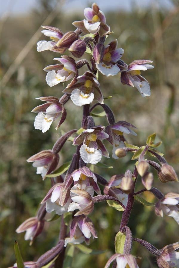 Moeraswespenorchis, bagno kruszczyk, Epipactis palustris obrazy royalty free