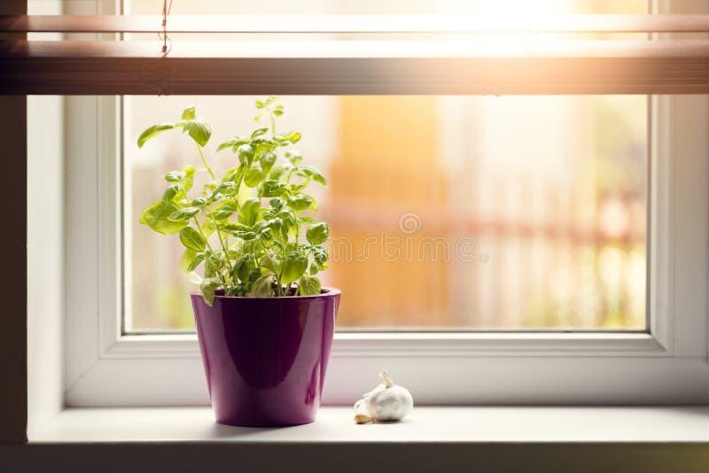 Moestuin - basilicum in pot op venstervensterbank stock fotografie