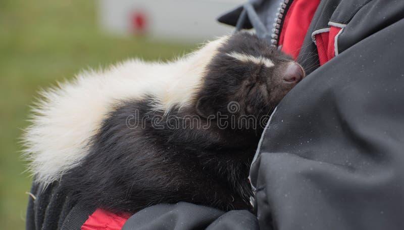 Mofeta del animal doméstico fotos de archivo libres de regalías