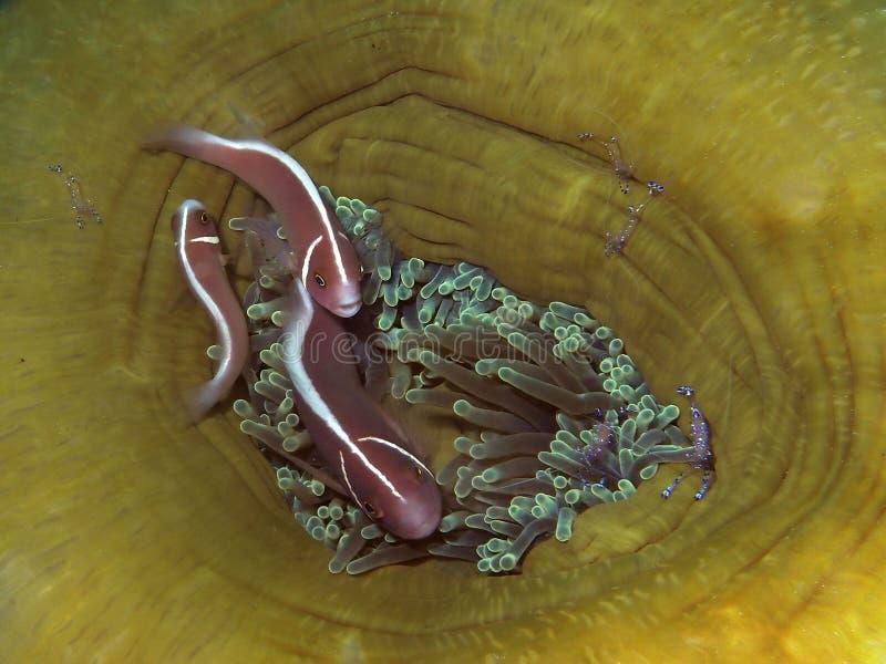 Mofeta rosada Clownfish en anémona así como anemoneshrimp imagen de archivo