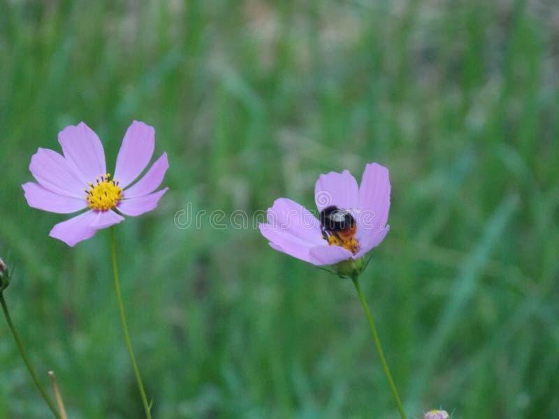 Mogeln Sie Biene auf einer Blume durch stockfoto