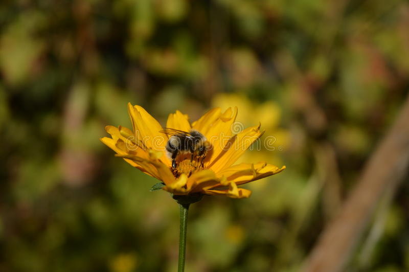 Mogeln Sie Biene auf einer Blume durch lizenzfreie stockfotografie