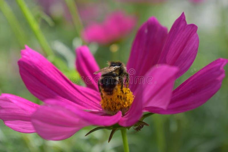 Mogeln Sie die Biene durch, die eine Blume bestäubt lizenzfreies stockfoto