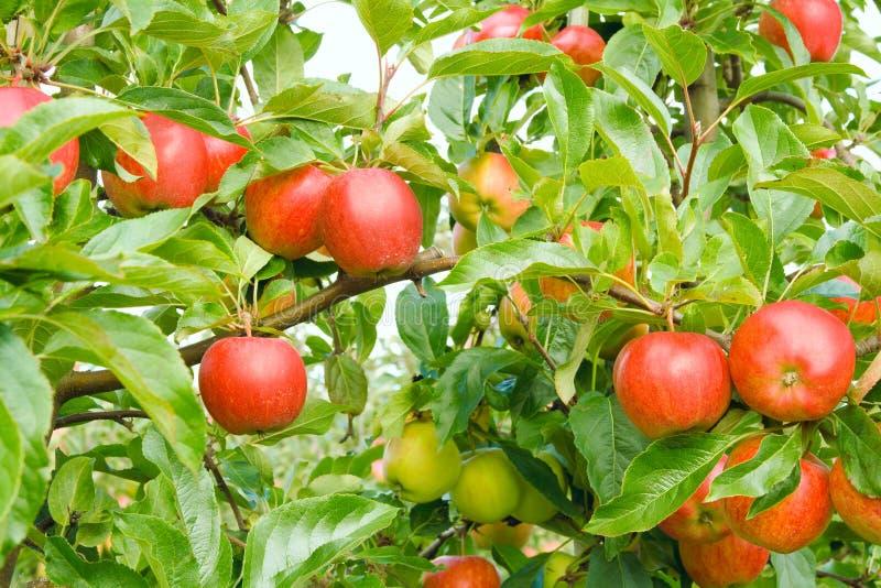 mogen äpplefruktträdgård royaltyfri foto