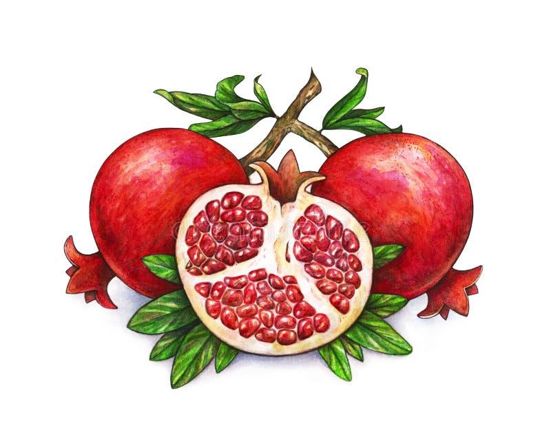 Mogen frukt av den röda granatäpplet på en filial isoleras på en vit bakgrund Vattenfärgillustration av granatäpplet och gräsplan stock illustrationer