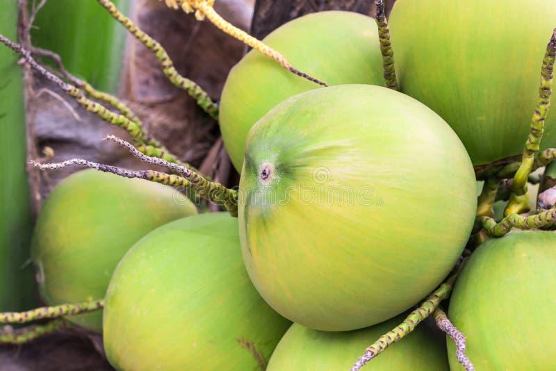 Mogen kokosn?tfrukt royaltyfri fotografi