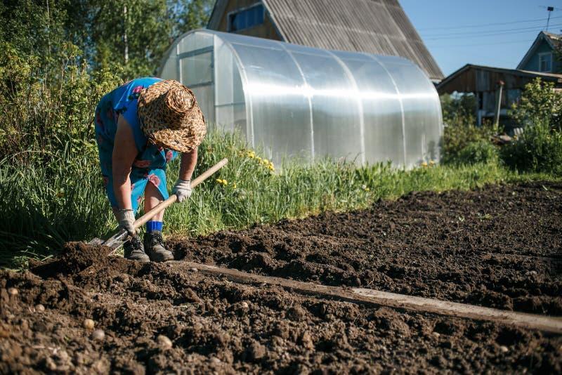 Mogen kvinna som planterar potatisar i henne som är trädgårds- royaltyfria foton