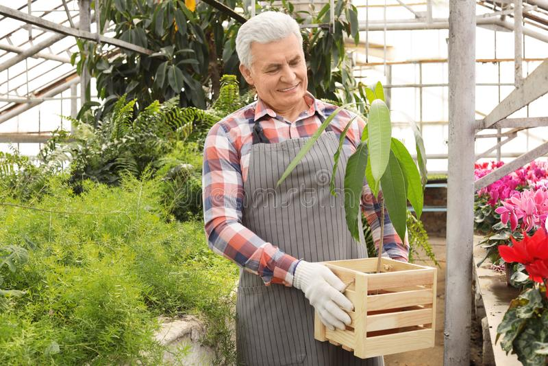 Mogen man som rymmer träspjällådan med den tropiska växten i växthus royaltyfri fotografi