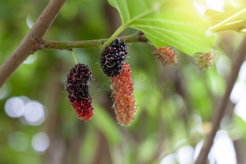 Mogen mullbärsträdfrukt på träd med solljus på naturbakgrund royaltyfri bild