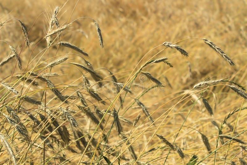 Mogen råg i ett fält som blåser i vinden och, böjde från nederbörd arkivfoton