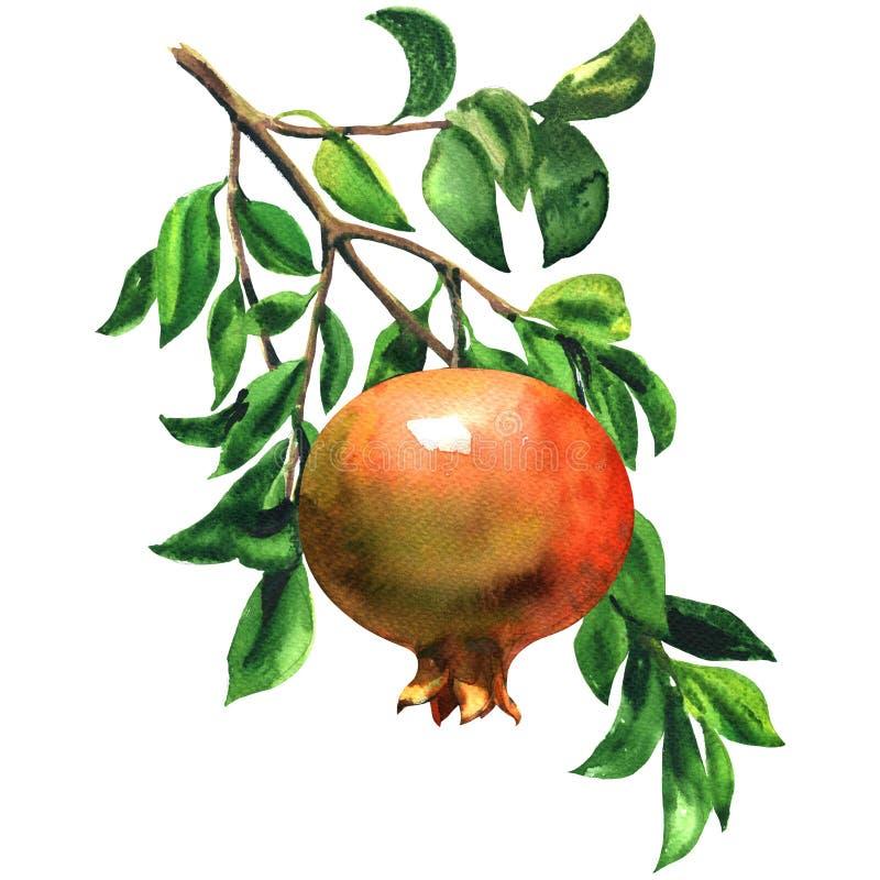 Mogen röd granatäpplefrukt på en filial med isolerade sidor, vattenfärgillustration på vit vektor illustrationer