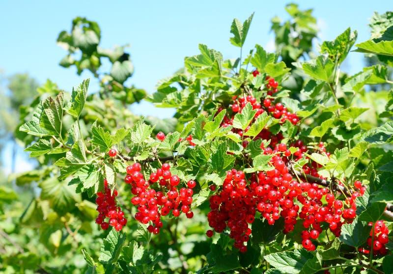 Mogen redcurrant eller för Ribesrubrum för röd vinbär skörd för bär på busken för röd vinbär i trädgård arkivbild