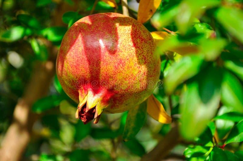 Mogen saftig granatäpplefrukt växer på ett träd med gröna sidor i trädgården royaltyfri foto