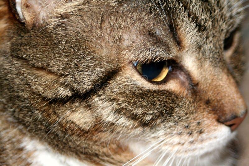 mogen tabby för katt arkivbilder