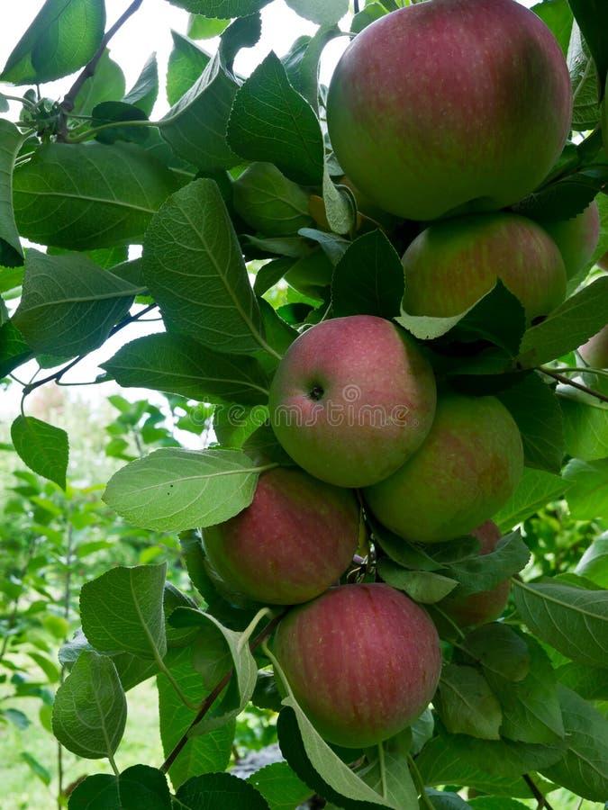 mogen tree för äpplen royaltyfri fotografi