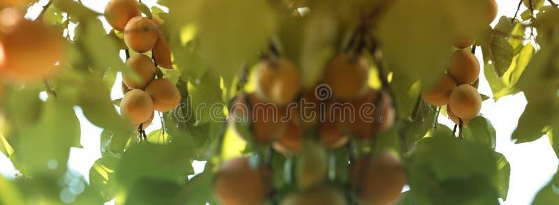 mogen tree för aprikosfilial Aprikors på aprikosträd Sommarfrukter royaltyfria foton