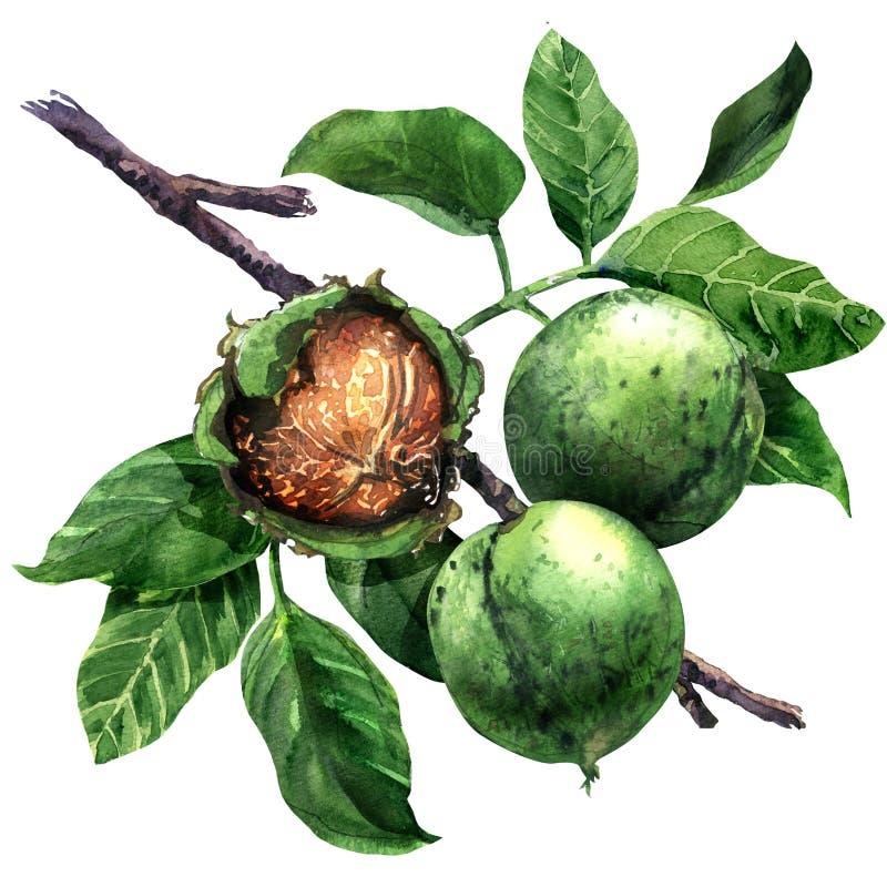 Mogen valnöt, mutter, filial för träd för valnötfrukter grön med isolerade sidor, utdragen vattenfärgillustration för hand på vit vektor illustrationer