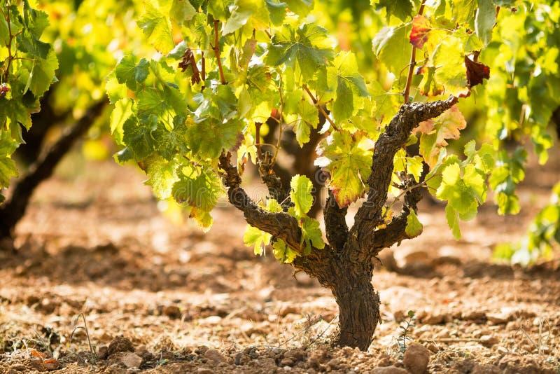 Mogen vingård royaltyfria foton