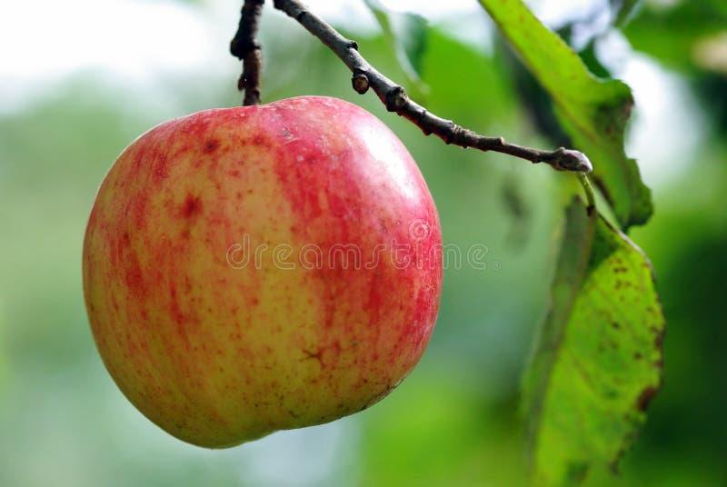 moget äpple fotografering för bildbyråer