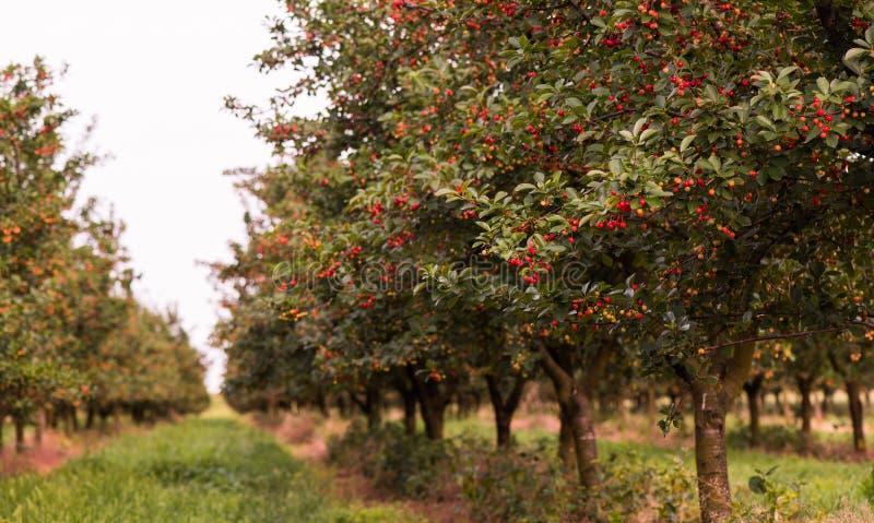Moget fält för körsbärsröd fruktträdgård arkivbild