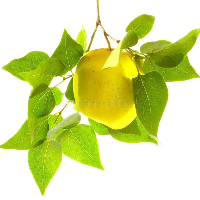Moget gult äpple på en filial med gröna sidor royaltyfri bild