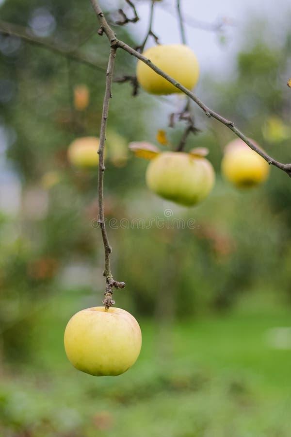 Moget gult äpple på filial royaltyfria bilder