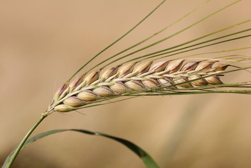 Moget kornöra på beige fältbakgrund royaltyfri bild