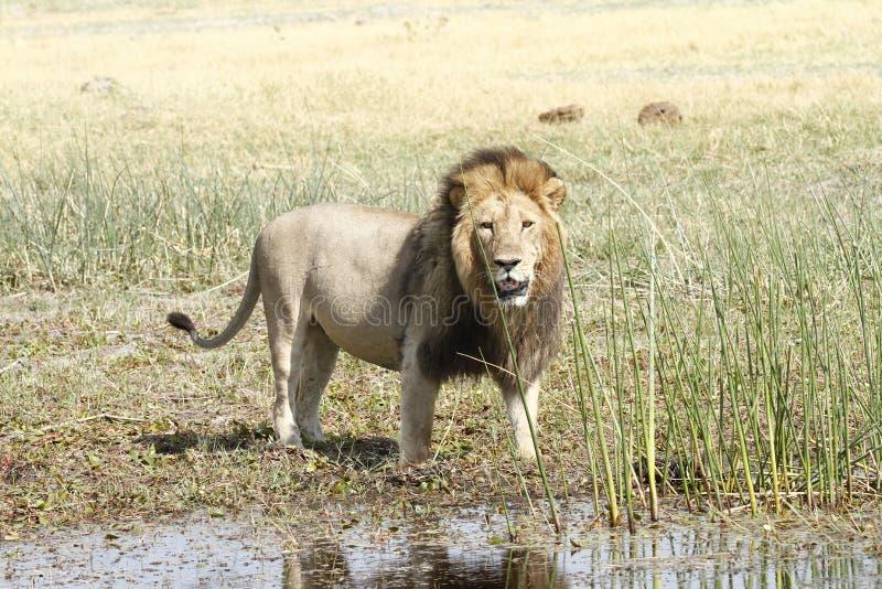 Moget manligt lejon royaltyfri foto