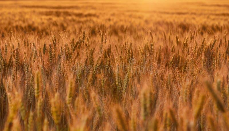 Moget sommarvetefält i ljuset av solnedgången Ljus conce royaltyfri fotografi