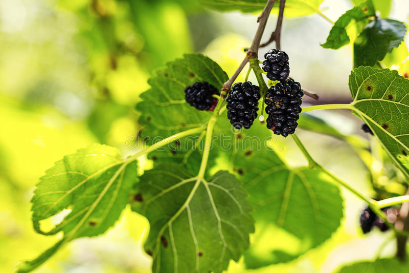 Moget svart bär som hänger på svart mullbärsträd för Morusträdfilial, M fotografering för bildbyråer